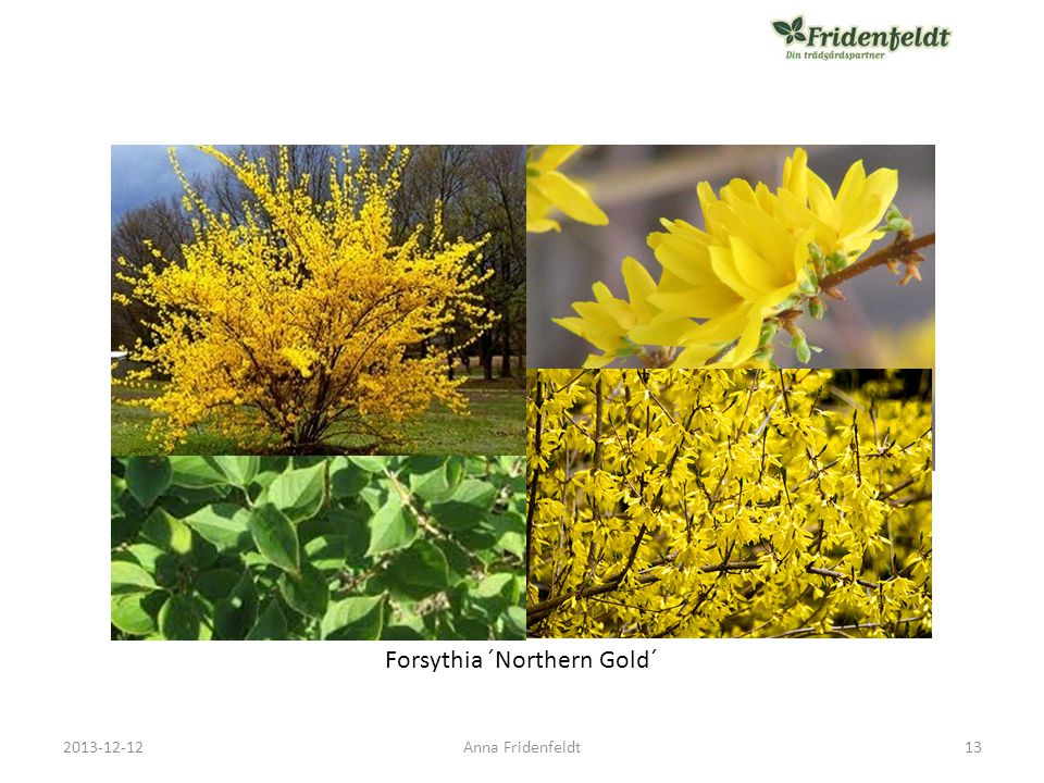 Forsythia ´Northern Gold´