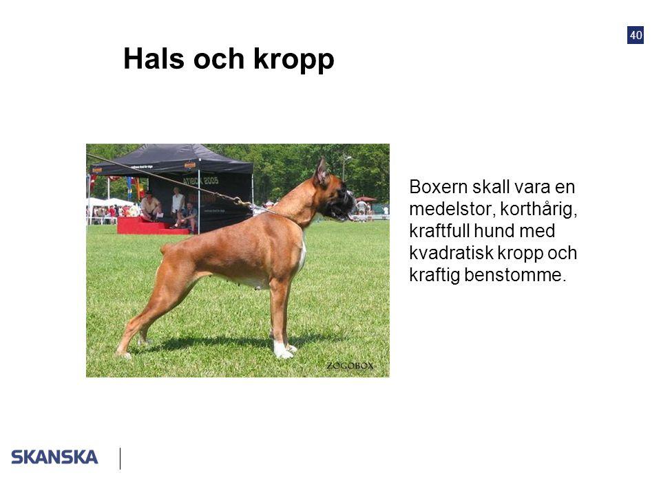 Hals och kropp Boxern skall vara en medelstor, korthårig, kraftfull hund med kvadratisk kropp och kraftig benstomme.