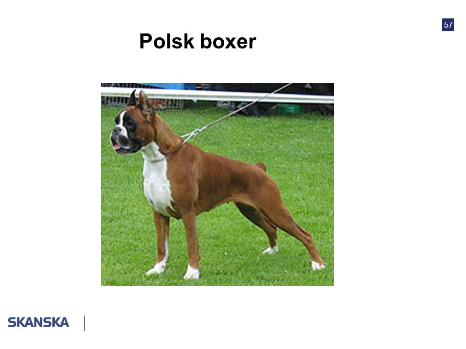 Polsk boxer