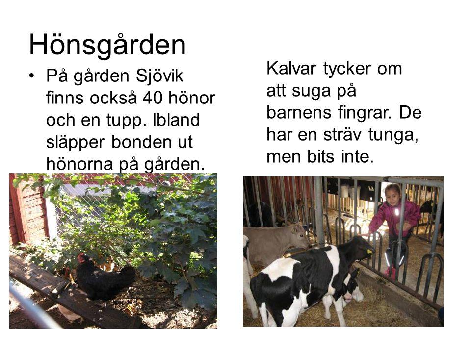 Hönsgården Kalvar tycker om att suga på barnens fingrar. De har en sträv tunga, men bits inte.