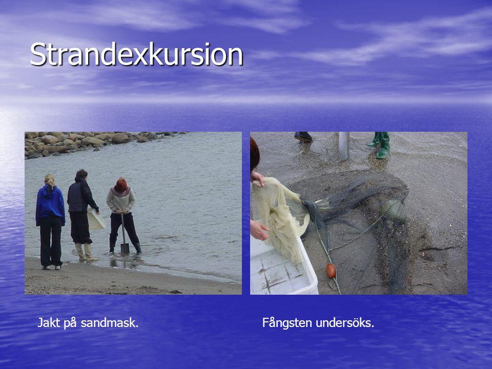 Strandexkursion Jakt på sandmask. Fångsten undersöks.