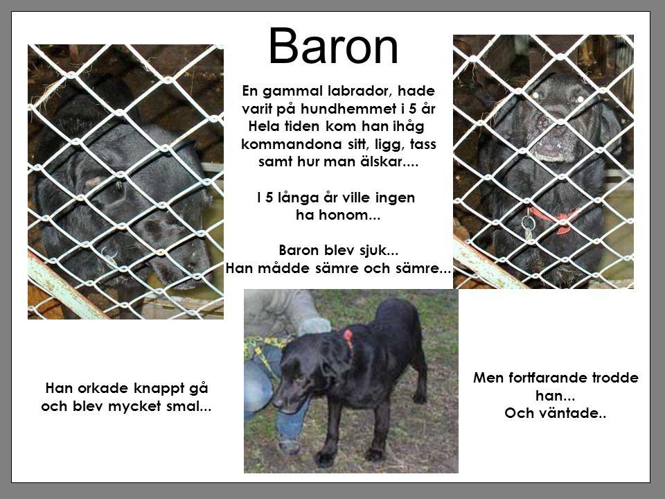 Baron En gammal labrador, hade varit på hundhemmet i 5 år