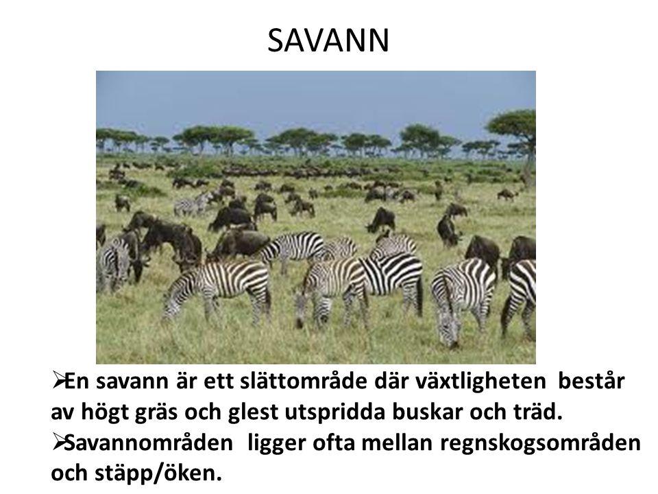 SAVANN En savann är ett slättområde där växtligheten består av högt gräs och glest utspridda buskar och träd.