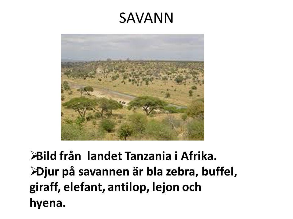 SAVANN Bild från landet Tanzania i Afrika.