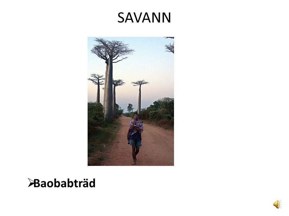 SAVANN Baobabträd