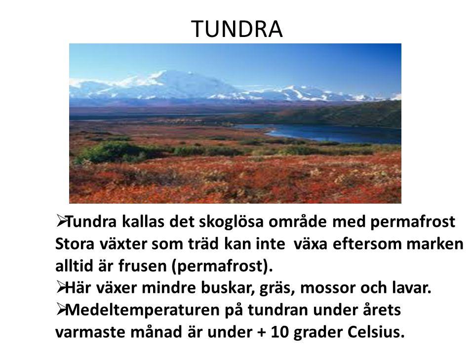 TUNDRA Tundra kallas det skoglösa område med permafrost Stora växter som träd kan inte växa eftersom marken alltid är frusen (permafrost).
