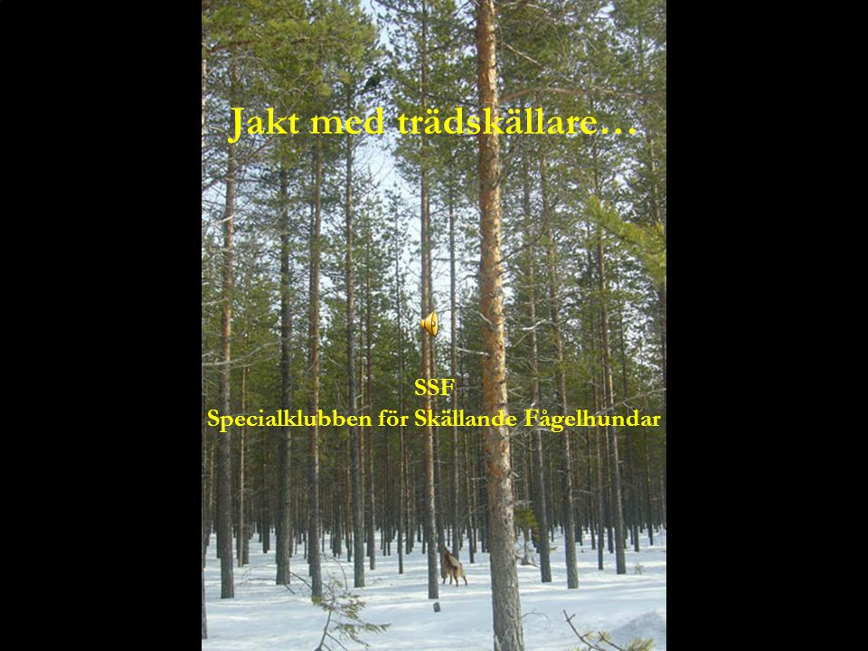 Jakt med trädskällare… SSF Specialklubben för Skällande Fågelhundar