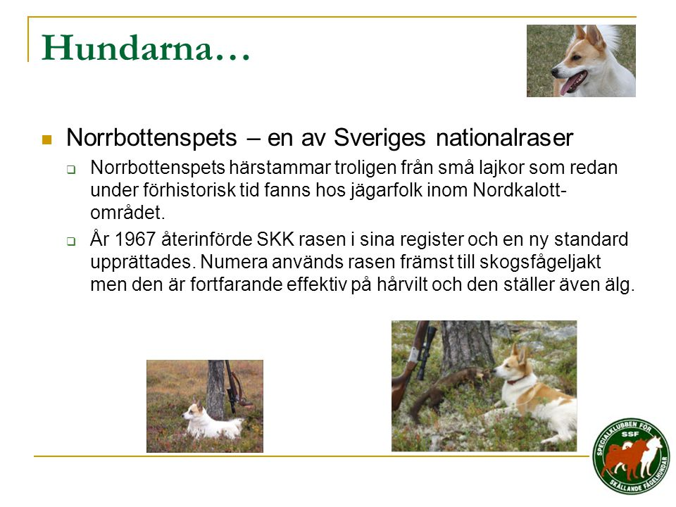 Hundarna… Norrbottenspets – en av Sveriges nationalraser