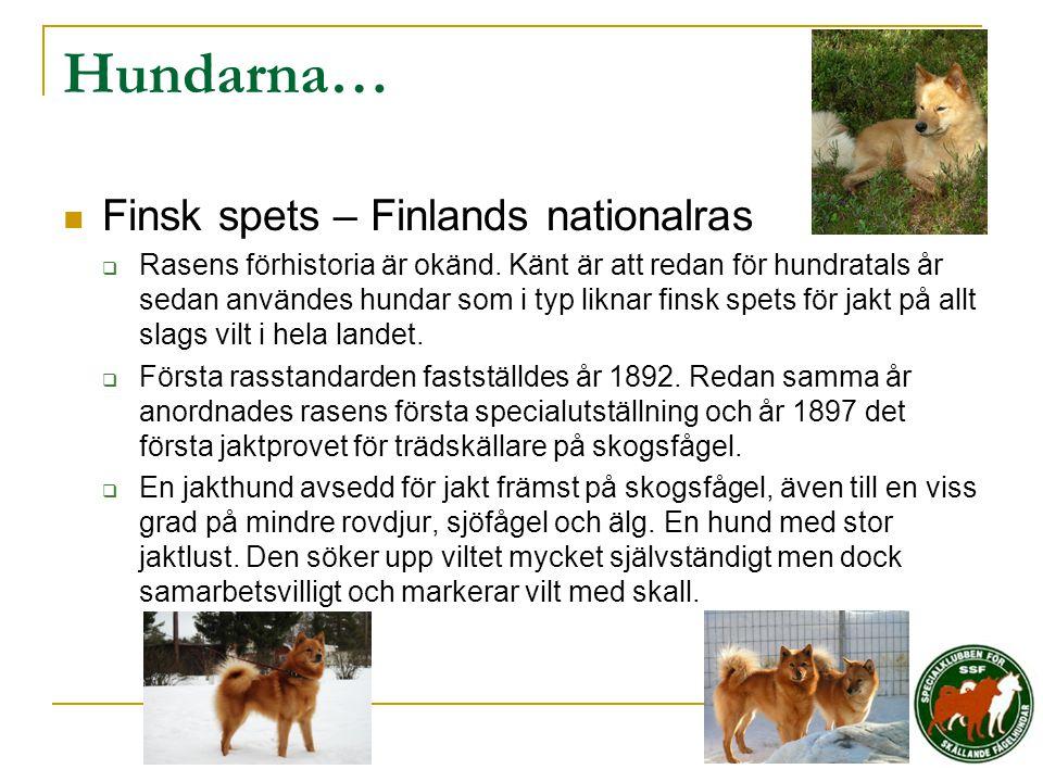 Hundarna… Finsk spets – Finlands nationalras