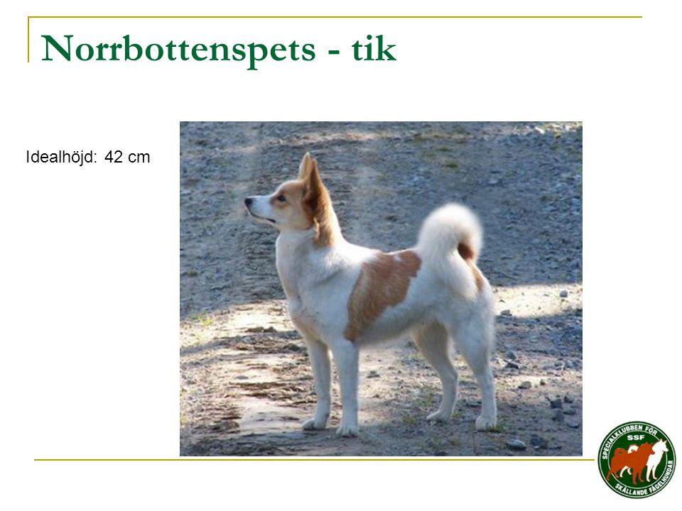 Norrbottenspets - tik Idealhöjd: 42 cm