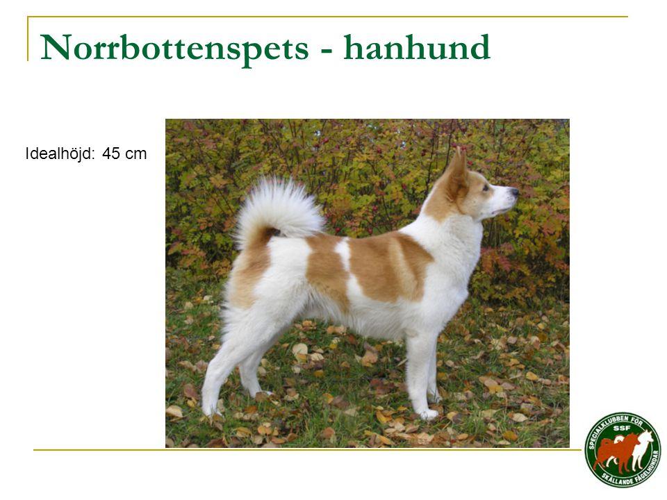 Norrbottenspets - hanhund