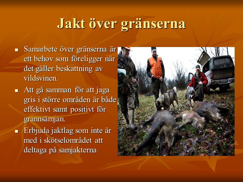 Jakt över gränserna Samarbete över gränserna är ett behov som föreligger när det gäller beskattning av vildsvinen.
