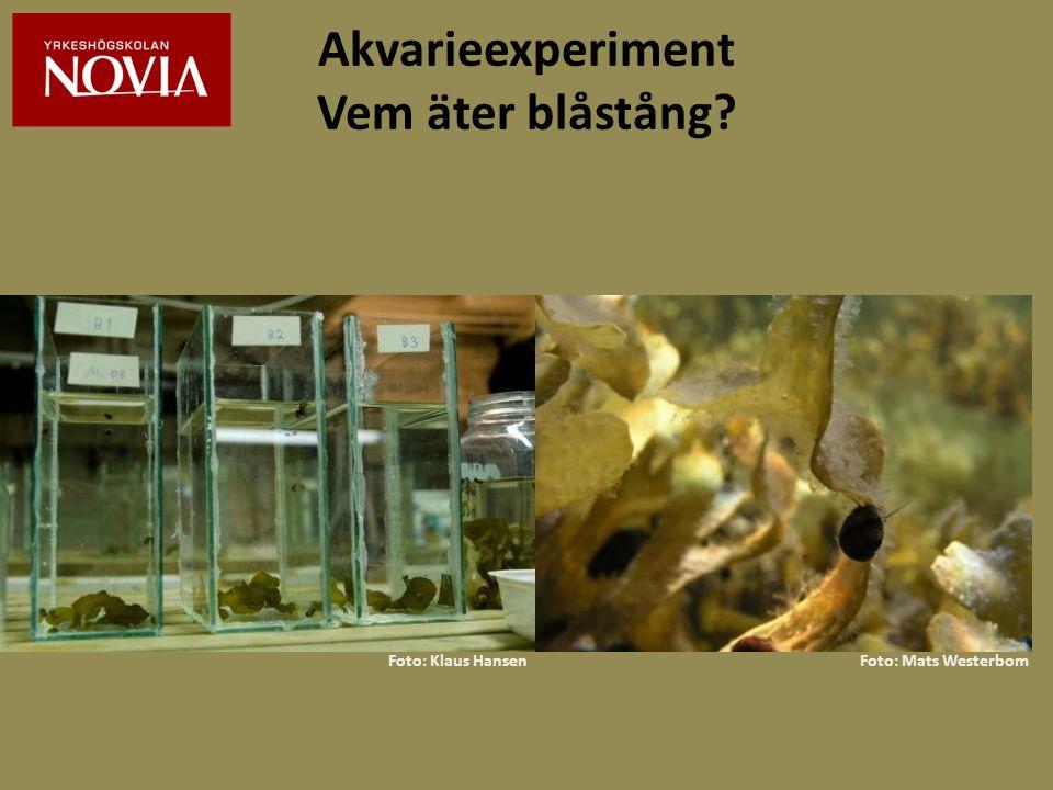 Akvarieexperiment Vem äter blåstång