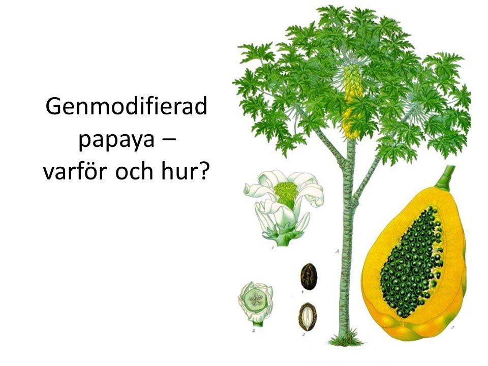 Genmodifierad papaya – varför och hur