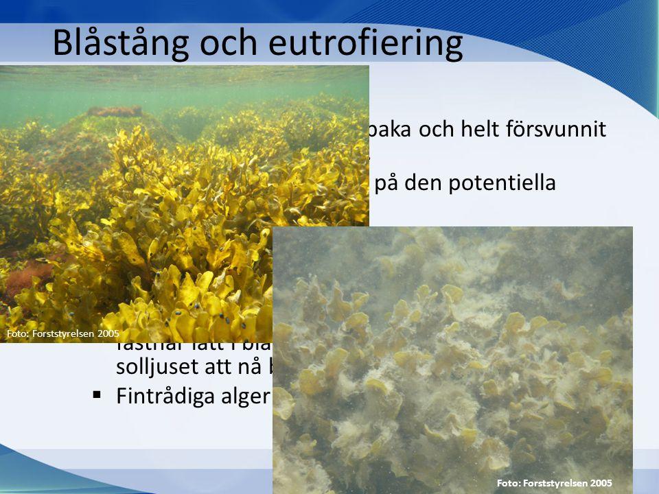 Blåstång och eutrofiering