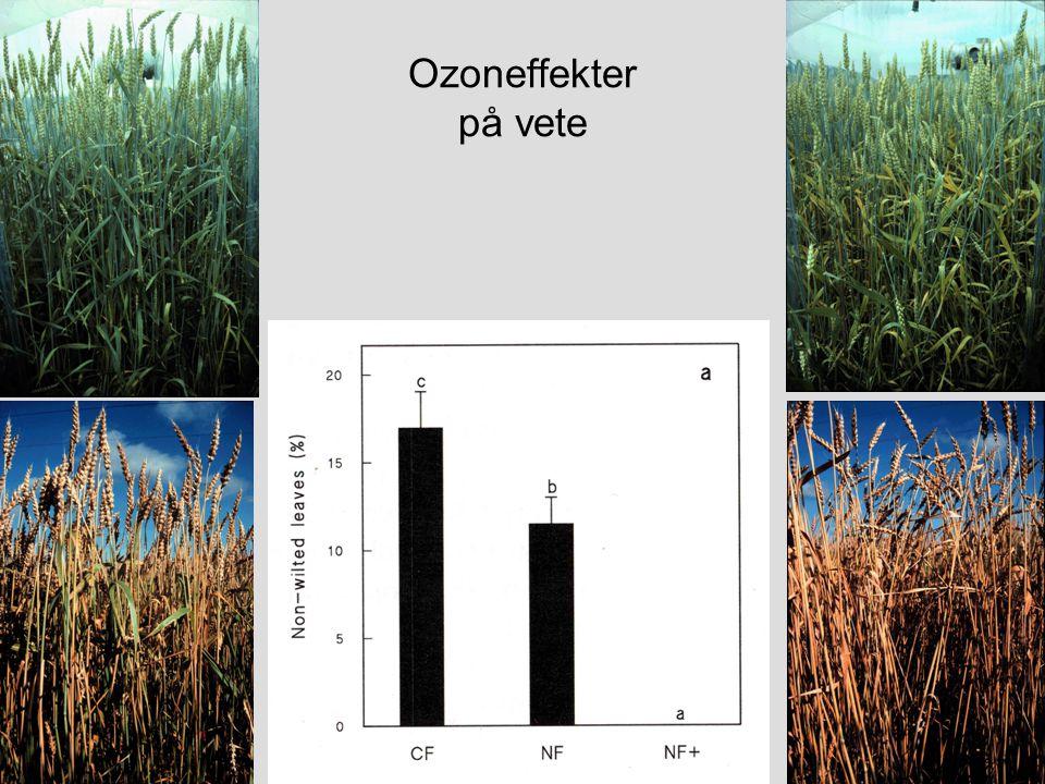 Ozoneffekter på vete