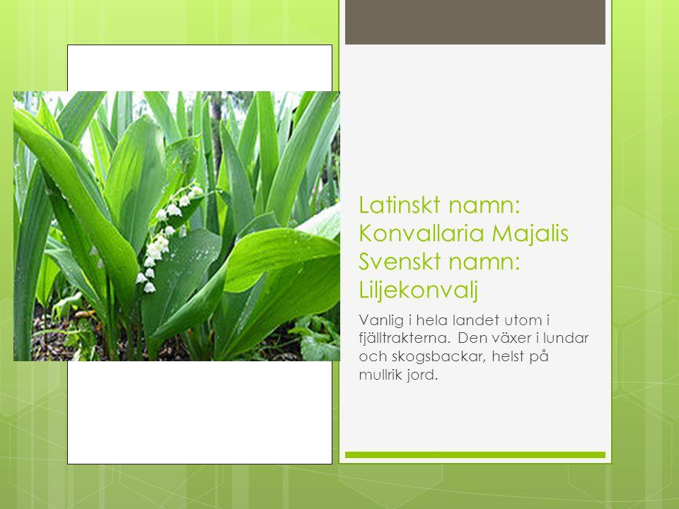 Latinskt namn: Konvallaria Majalis Svenskt namn: Liljekonvalj