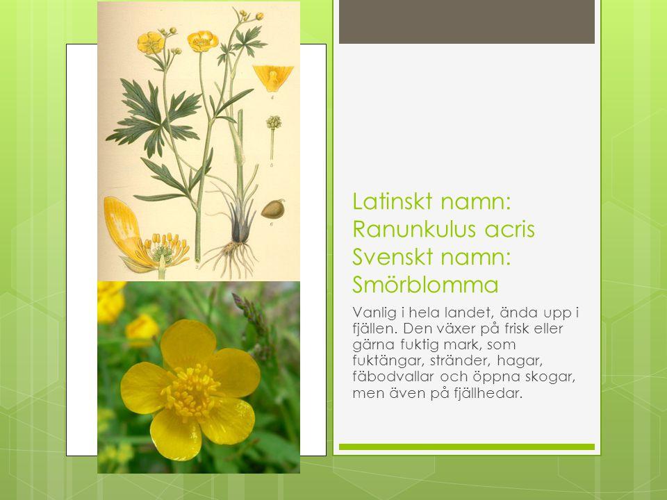 Latinskt namn: Ranunkulus acris Svenskt namn: Smörblomma