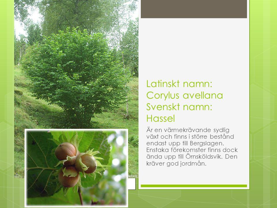 Latinskt namn: Corylus avellana Svenskt namn: Hassel