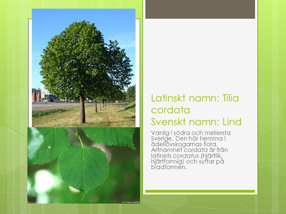 Latinskt namn: Tilia cordata Svenskt namn: Lind