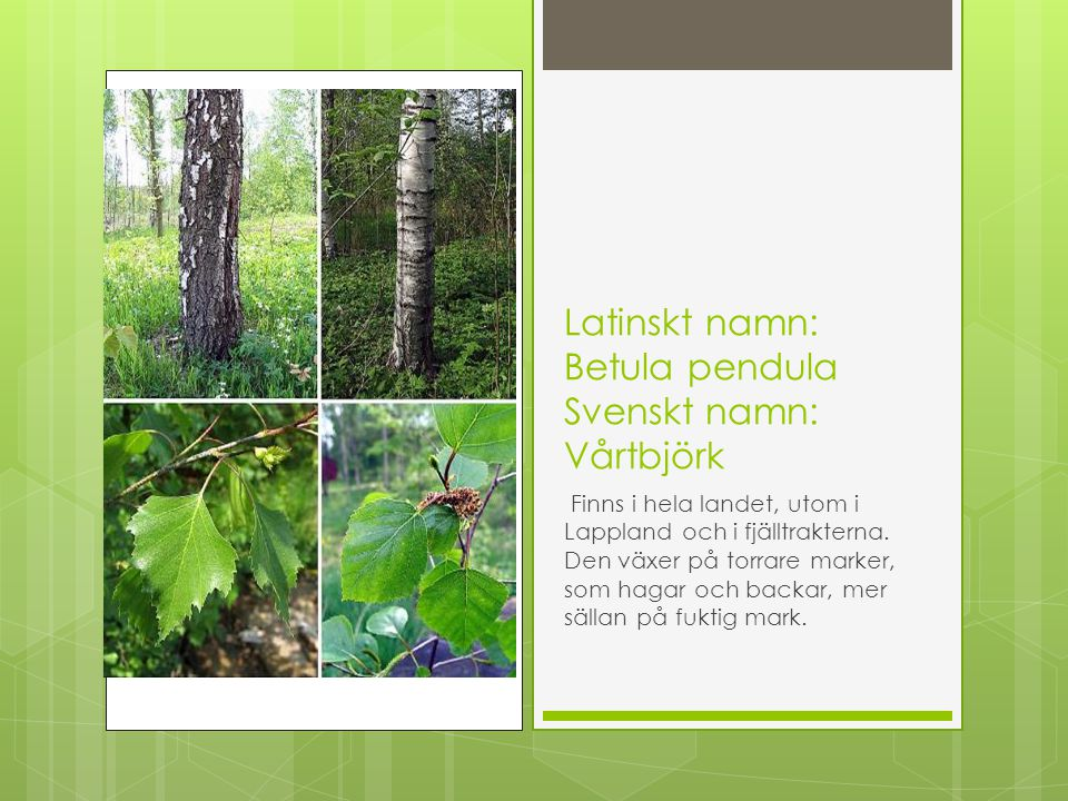 Latinskt namn: Betula pendula Svenskt namn: Vårtbjörk
