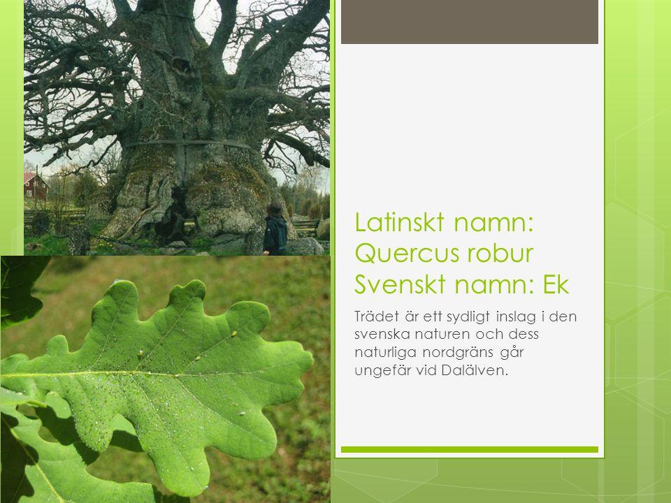 Latinskt namn: Quercus robur Svenskt namn: Ek