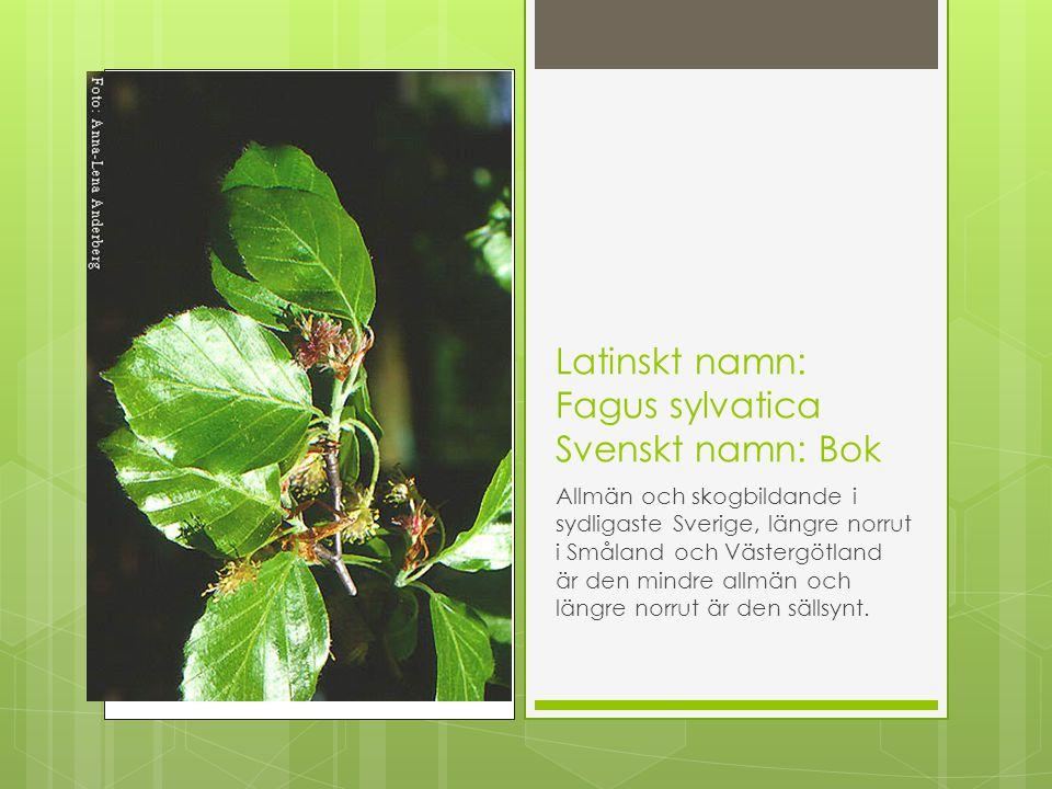 Latinskt namn: Fagus sylvatica Svenskt namn: Bok