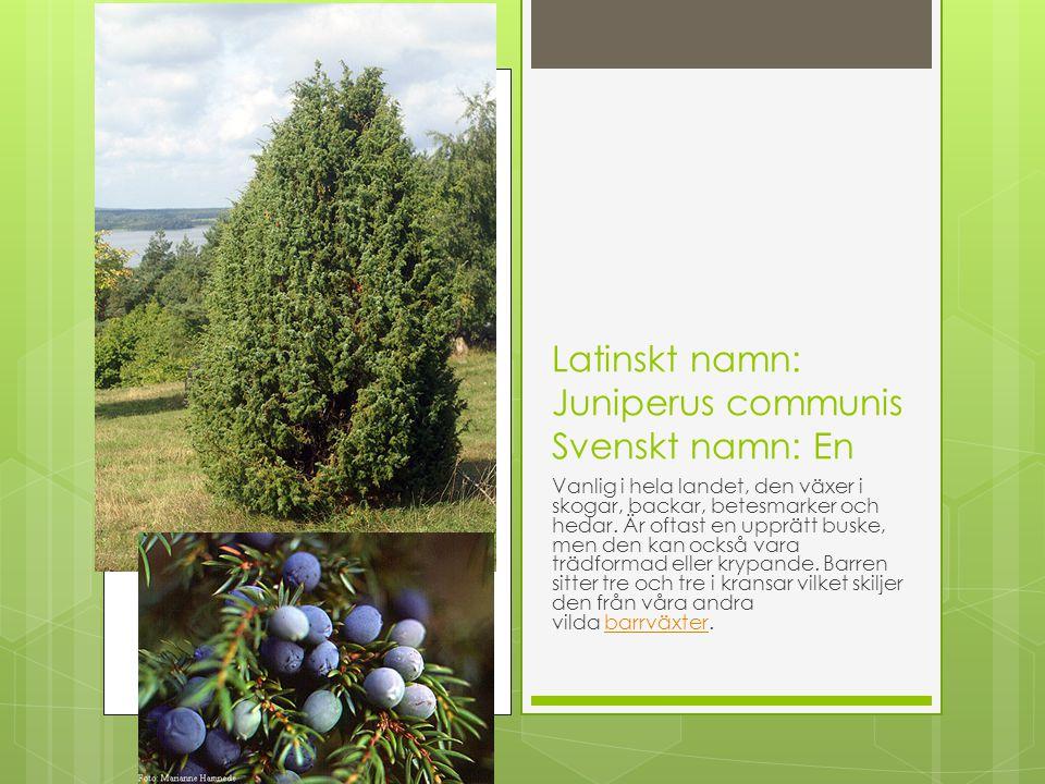 Latinskt namn: Juniperus communis Svenskt namn: En