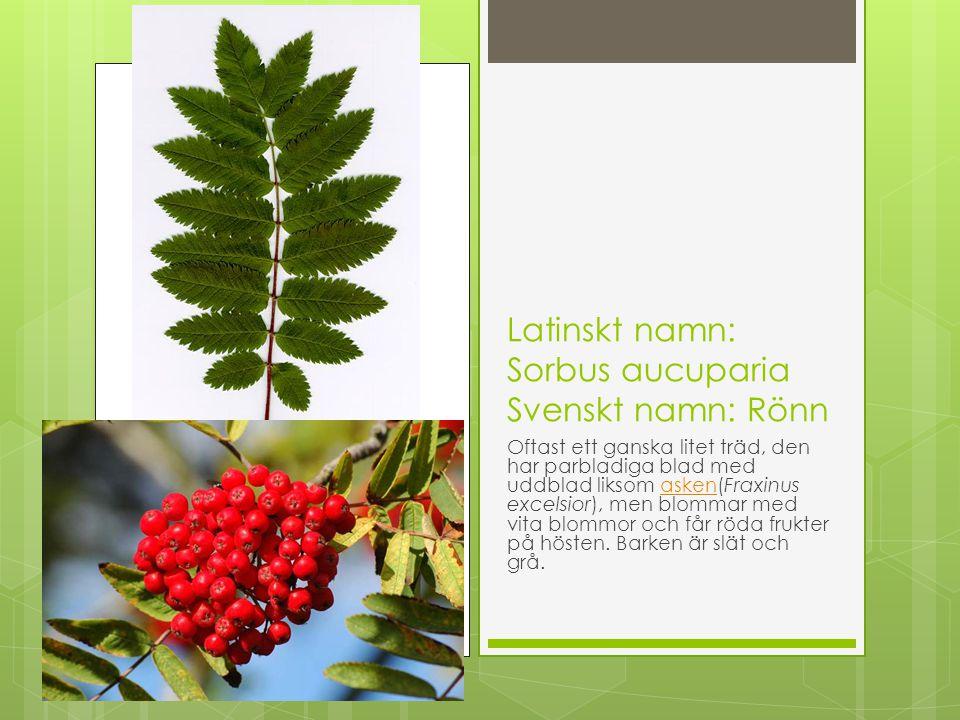 Latinskt namn: Sorbus aucuparia Svenskt namn: Rönn