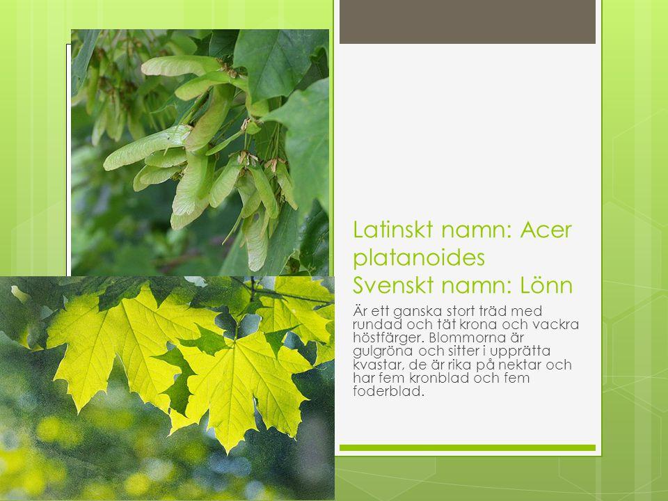 Latinskt namn: Acer platanoides Svenskt namn: Lönn