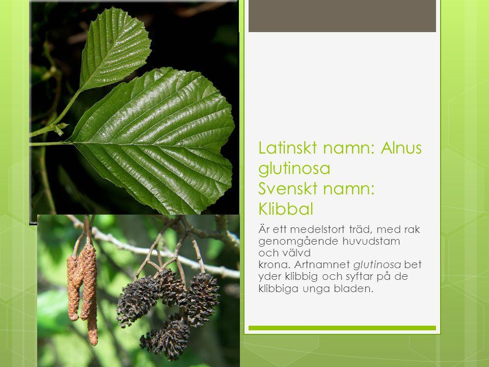 Latinskt namn: Alnus glutinosa Svenskt namn: Klibbal