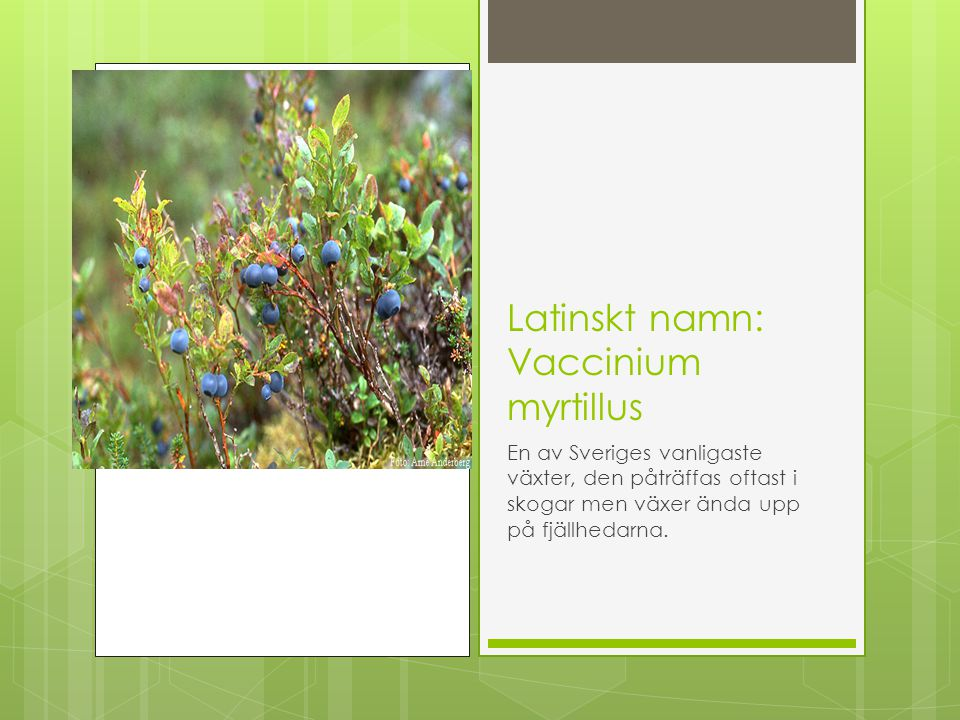 Latinskt namn: Vaccinium myrtillus