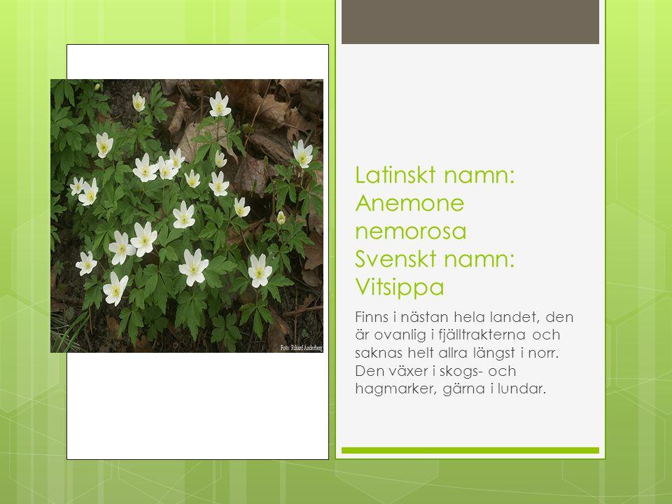 Latinskt namn: Anemone nemorosa Svenskt namn: Vitsippa