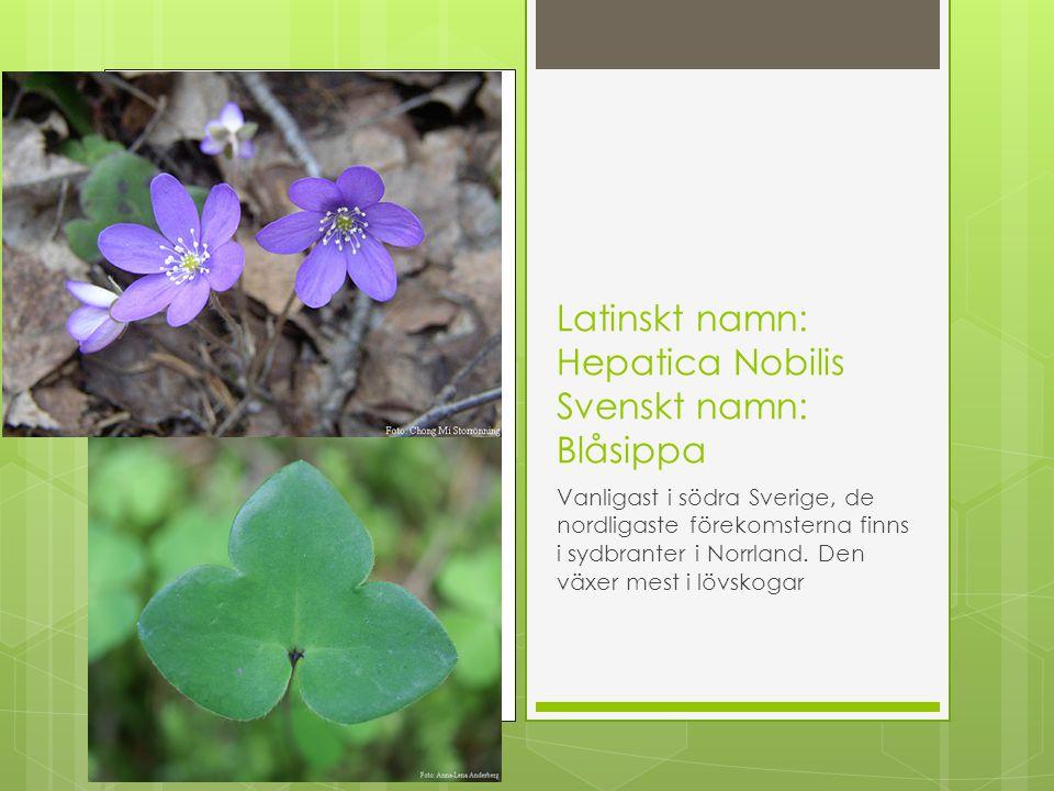 Latinskt namn: Hepatica Nobilis Svenskt namn: Blåsippa