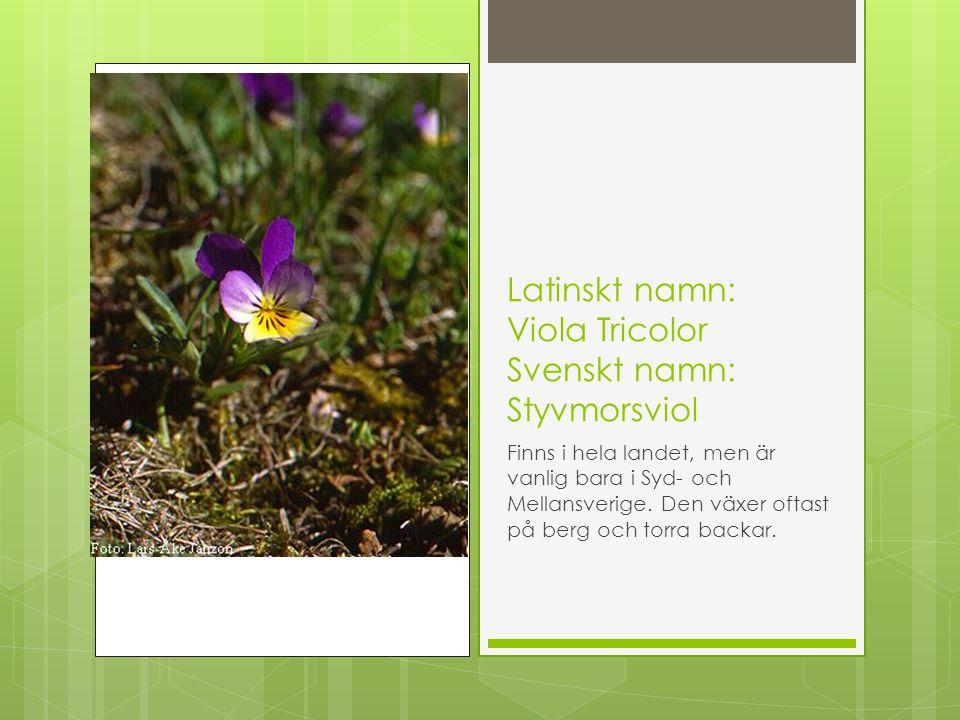 Latinskt namn: Viola Tricolor Svenskt namn: Styvmorsviol