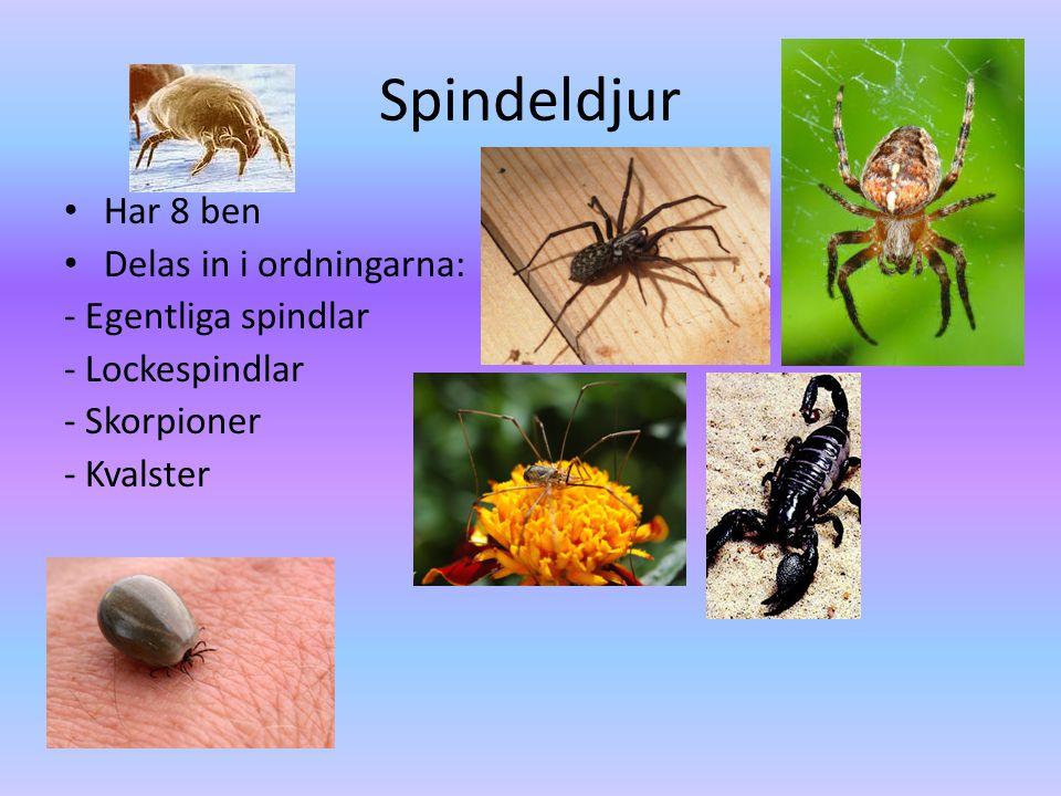 Spindeldjur Har 8 ben Delas in i ordningarna: - Egentliga spindlar