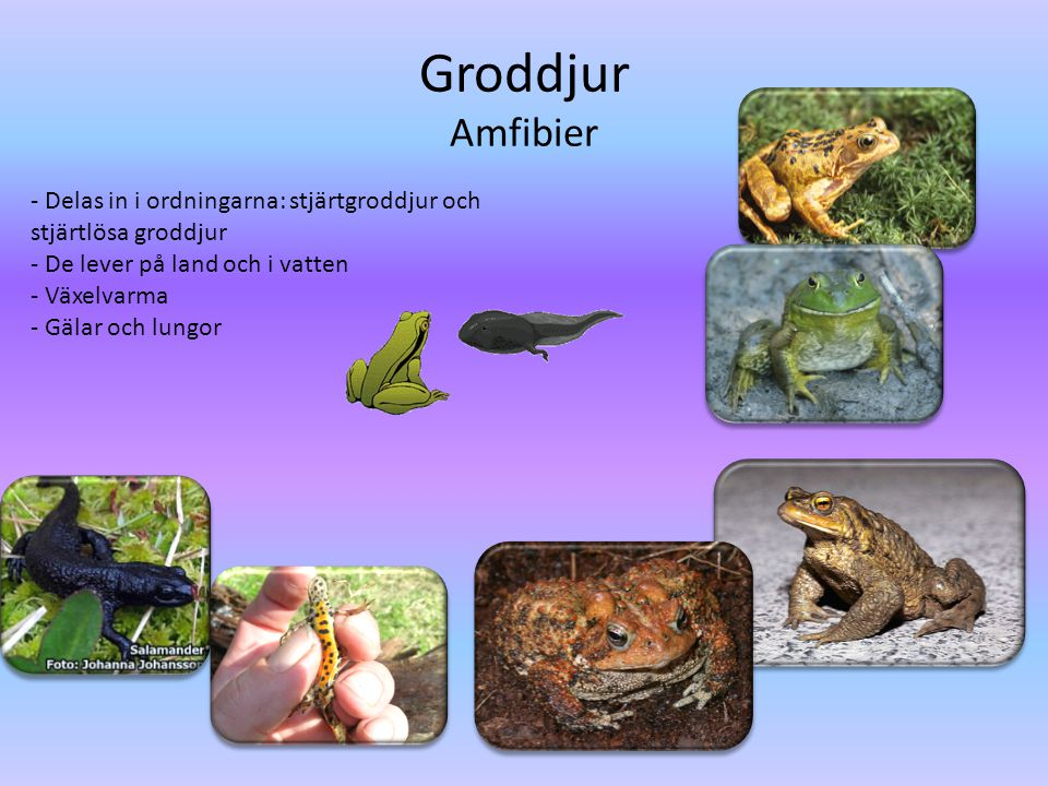 Groddjur Amfibier - Delas in i ordningarna: stjärtgroddjur och stjärtlösa groddjur. - De lever på land och i vatten.
