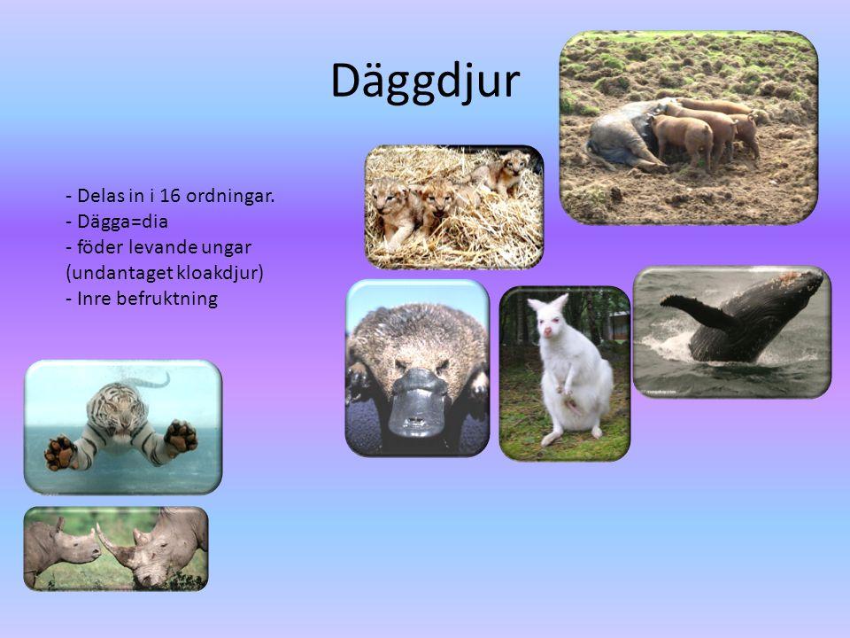 Däggdjur - Delas in i 16 ordningar. - Dägga=dia