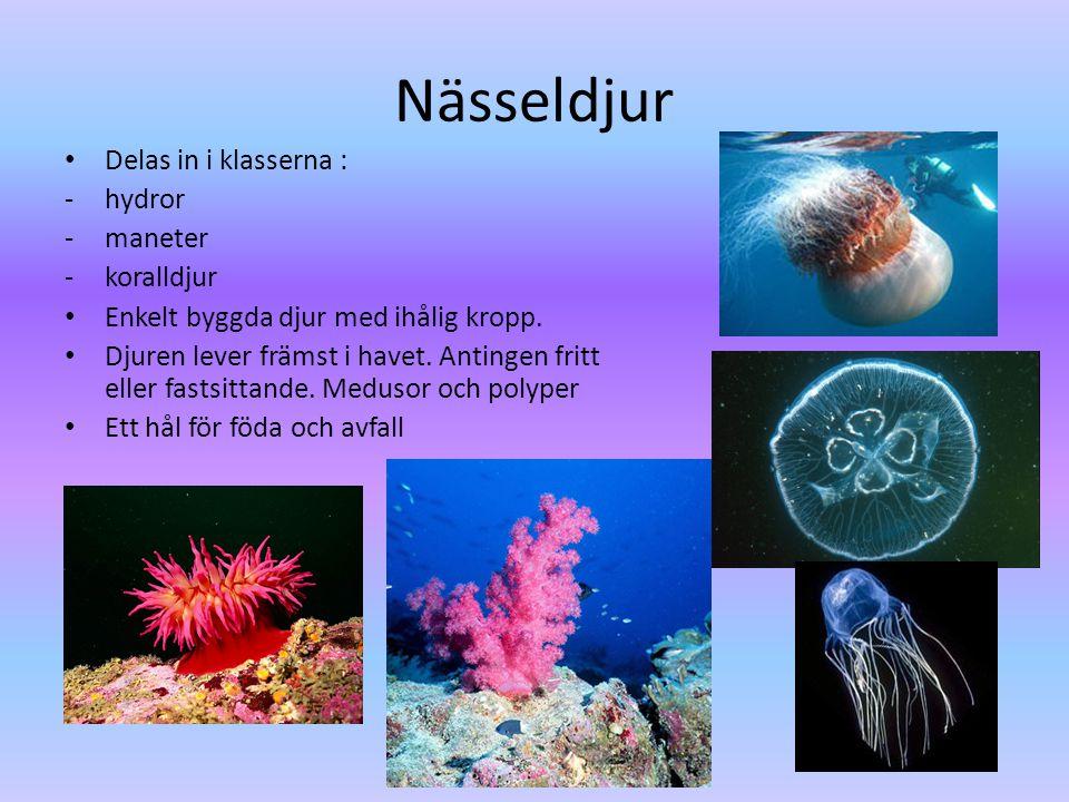 Nässeldjur Delas in i klasserna : hydror maneter koralldjur