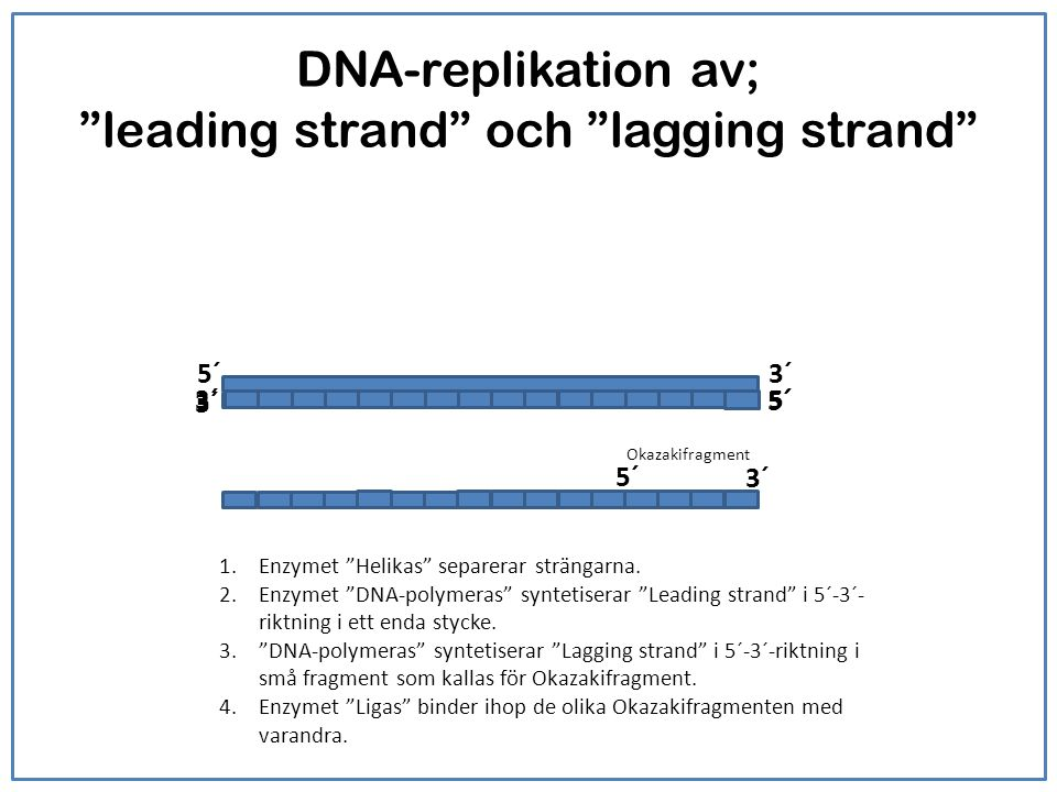 DNA-replikation av; leading strand och lagging strand