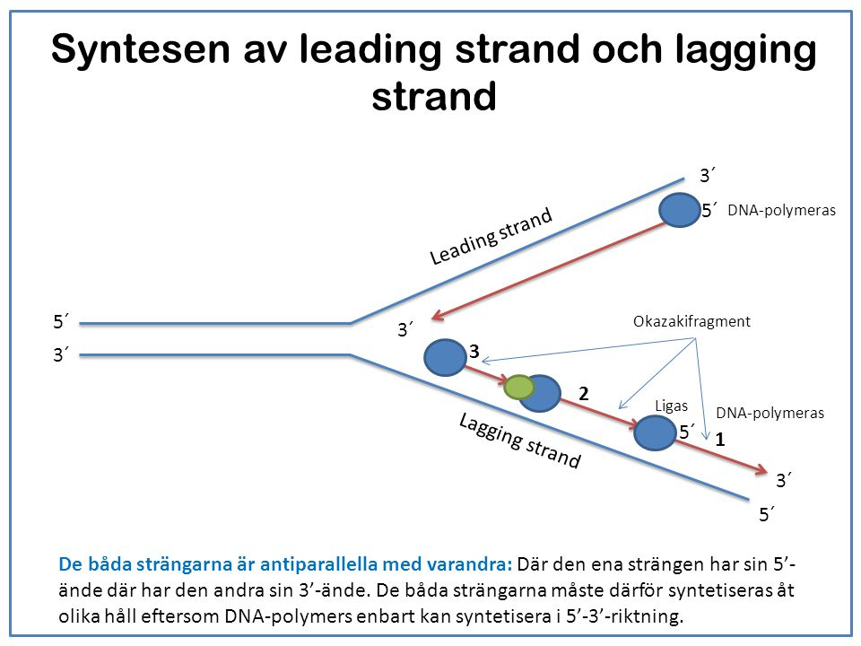 Syntesen av leading strand och lagging strand