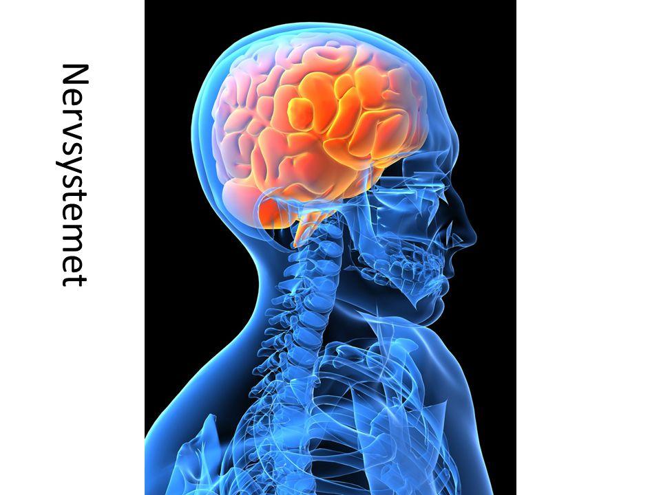 Nervsystemet
