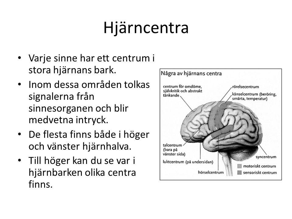 Hjärncentra Varje sinne har ett centrum i stora hjärnans bark.