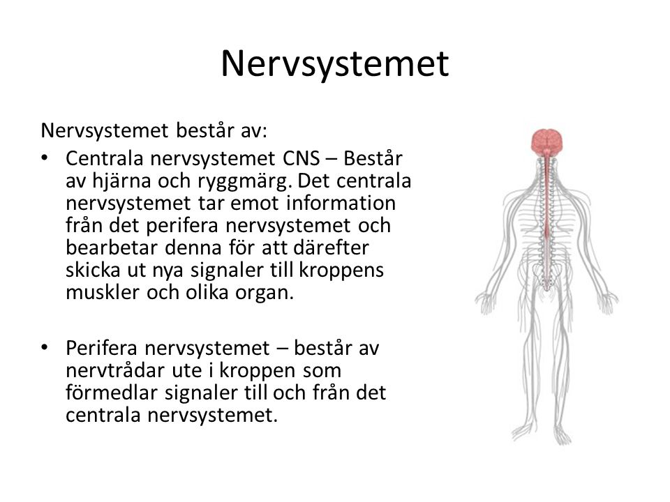 Nervsystemet Nervsystemet består av: