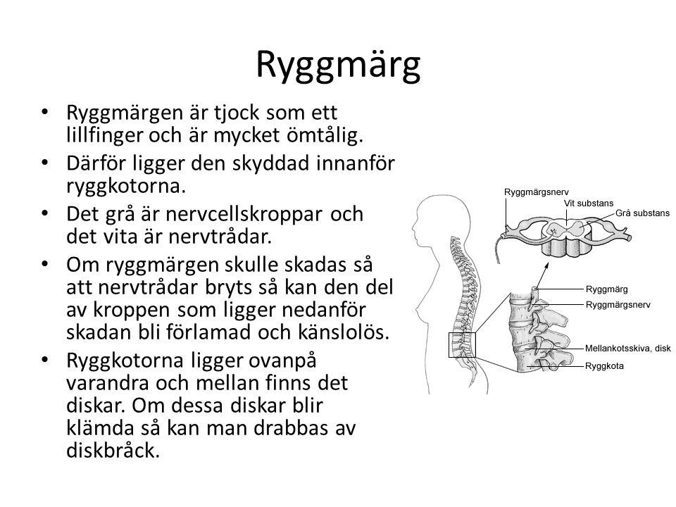 Ryggmärg Ryggmärgen är tjock som ett lillfinger och är mycket ömtålig.