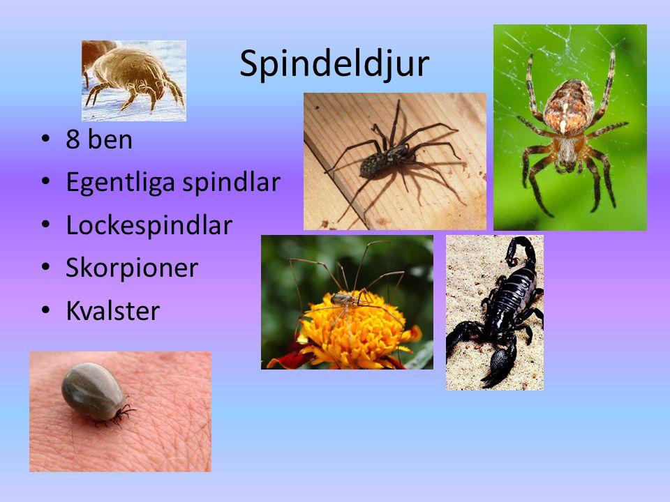 Spindeldjur 8 ben Egentliga spindlar Lockespindlar Skorpioner Kvalster