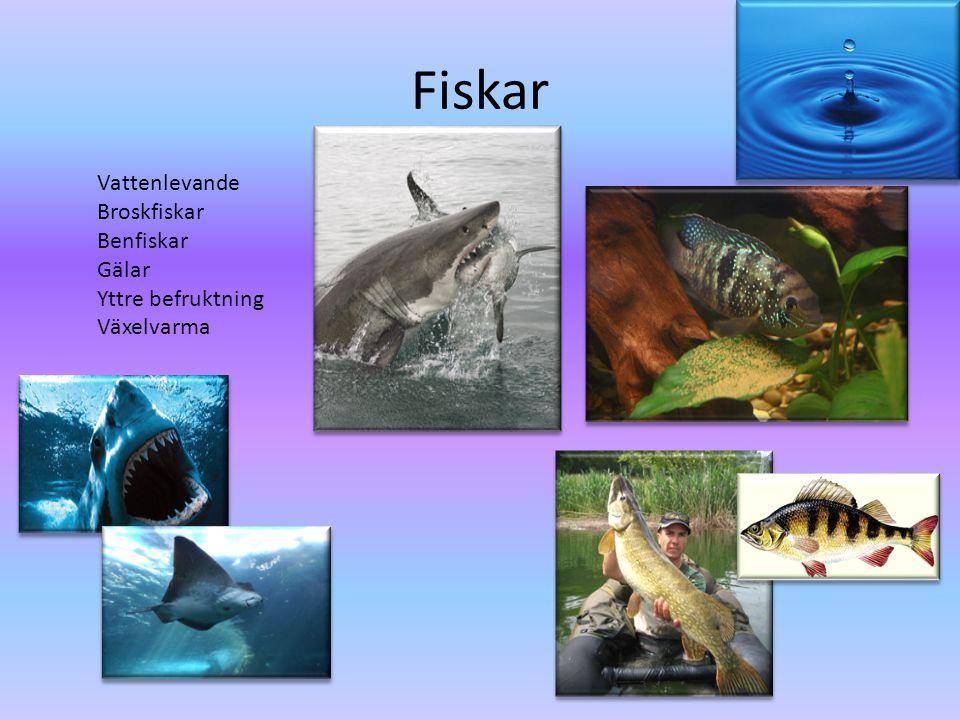 Fiskar Vattenlevande Broskfiskar Benfiskar Gälar Yttre befruktning