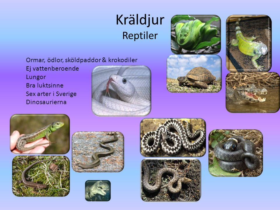 Kräldjur Reptiler Ormar, ödlor, sköldpaddor & krokodiler