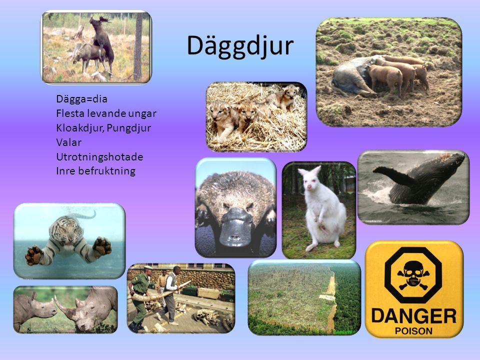 Däggdjur Dägga=dia Flesta levande ungar Kloakdjur, Pungdjur Valar