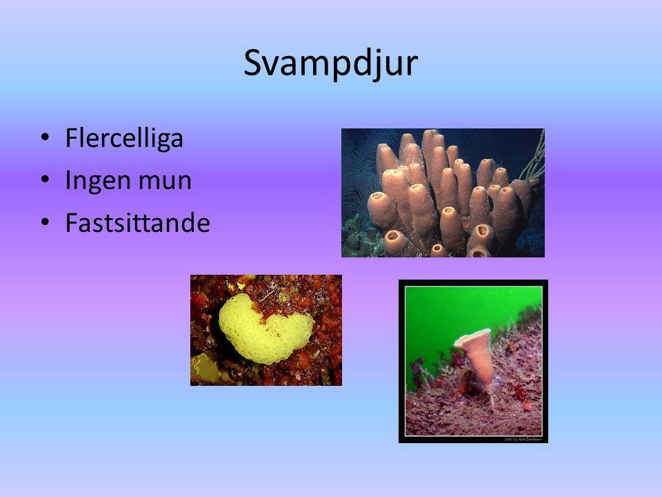 Svampdjur Flercelliga Ingen mun Fastsittande